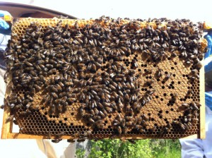 A frame fresh with capped brood, and  plenty of active healthy bees