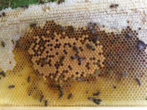 A healthy brood pattern, and surrounding food and pollen store
