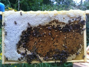 Pollen features heavily in the middle of this frame, surrounded by white, wax capped honey
