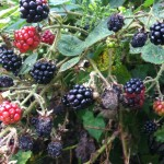 SR_blackberries