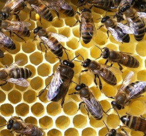 A male drone bee in the centre, with larger body, wings, and noticeably larger eyes than his sisters.