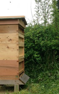 Clearing the runway helps the large number of foraging bees get in and out of the hive, with less fuss
