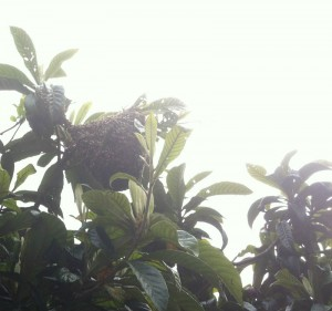 The swarms first hop, on  a Magnolia tree
