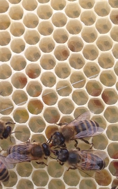 The candlewick like flecks in the centre of the cells are freshly laid bee eggs