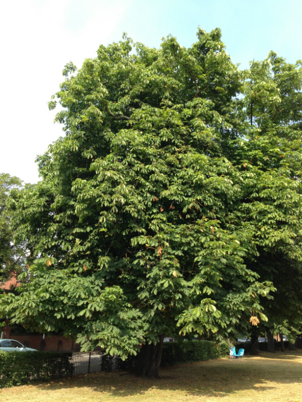 The broad leafy Horse chestnut is the classic conker provider