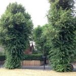 Manicured lime trees stand straight and tall, ideal for lining London streets