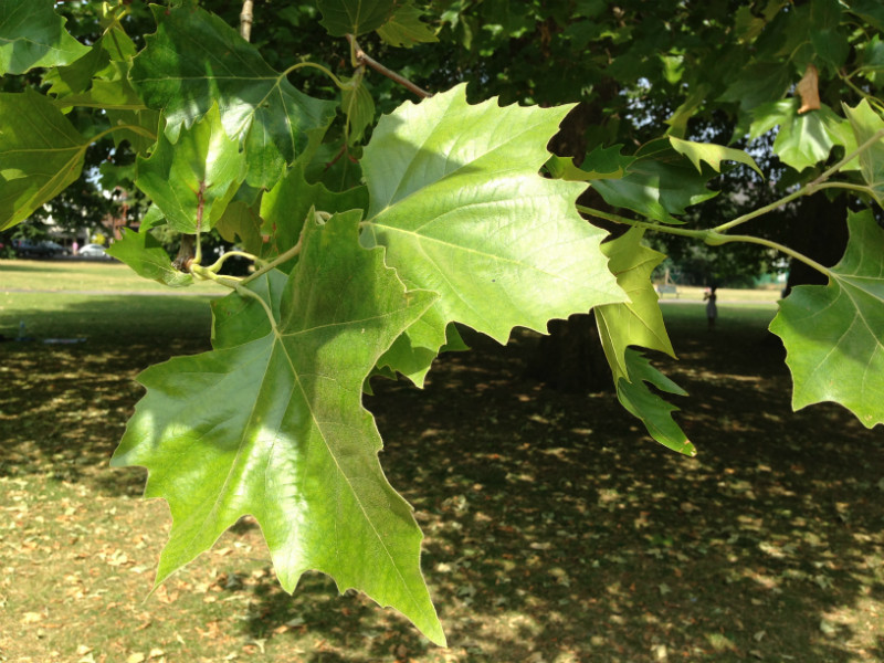 The broad maple like leaf of London Plane trees