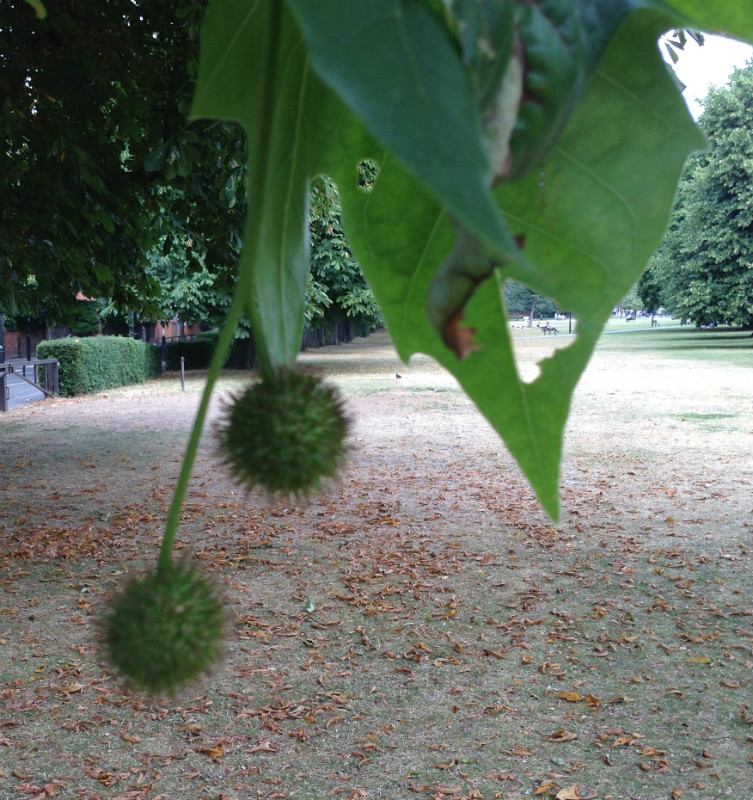 London Plane trees have a kind of conker too, but its not your classic English school game fodder