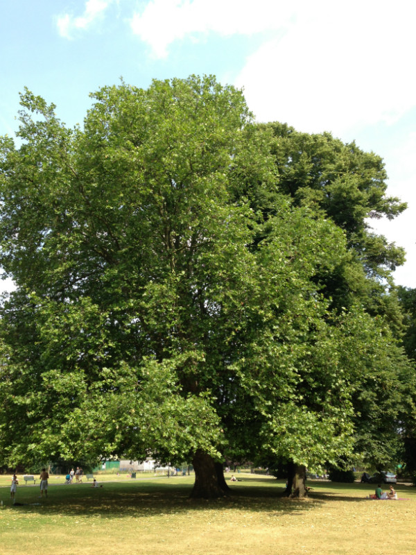 These large broad leaf London Plane trees dominate west london streets along with the lime trees, providing ample shade and a delightful green touch to the city