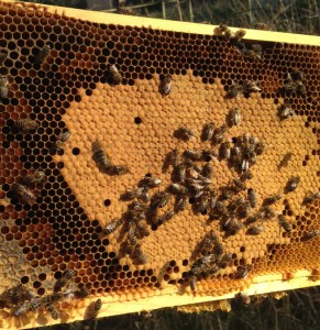 A healthy looking frame of capped brood. Under the caps are bee larvae, developing into young bees. It takes 21 days from egg to hatching.